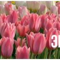 """Тюльпан """"Albert Heijn"""" 3шт в упаковке"""